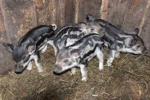 Junge Wollschweine!