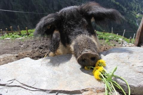 Junge Wollschweine